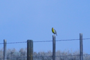Kim's photo of a Meadowlark