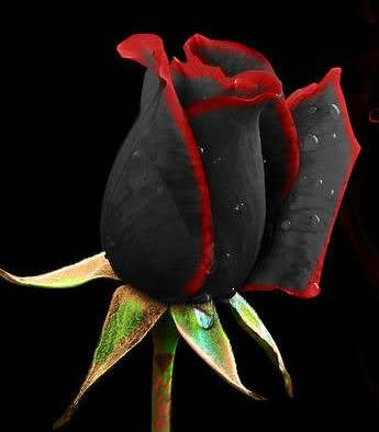 black rose from Turkey