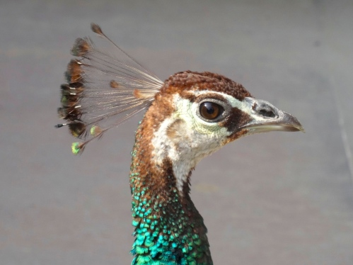 Peacock in the courtyard of Ghalib! photo by Shabda